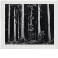 northern california coast redwoods [1962] by ansel adams